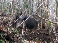 un rapido escursus delle trappole più usate per bloccare i cinghiali nel parco dei castelli (trappole nelle quali ovviamente finiscono anche altri animali)